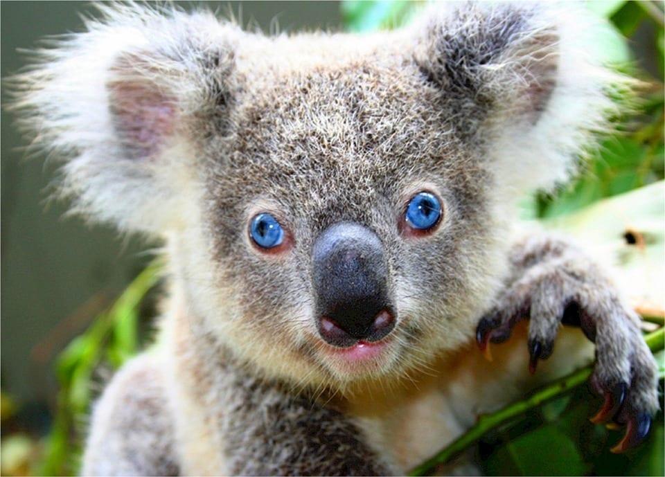 koala-518312_960_720